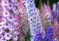 Mix mini order $5 1pack/50pcs Delphinium grandiflorum seed Home Garden Decoration Bonsai Flower seeds