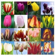 Tulip seeds, tulip flowers, beautiful tulip 24 varieties can pick -100 seeds(China (Mainland))