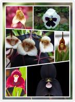 on sale 150pcs a lot Naughty Little Cute , Peru Monkey Face Orchid Seeds Phalaenopsis Bonsai Flower Plant Seeds