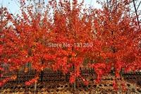 1 много 30 семена гигантский красный перец специи пряный перец семена растений дома садовых растений