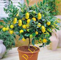20 pieces Lemon Tree Seeds, High survival Rate Fruit Tree Seeds For Home Gatden Backyard !