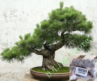 Hot selling 30pcs Japanese pine tree seeds, Pinus thunbergii seeds, bonsai seeds DIY home garden free shipping