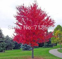 Free Shipping 30 pcs/bag of bonsai American maple tree seeds big plants