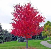 Promotion 30 seeds/bag of bonsai American maple tree seeds big plants