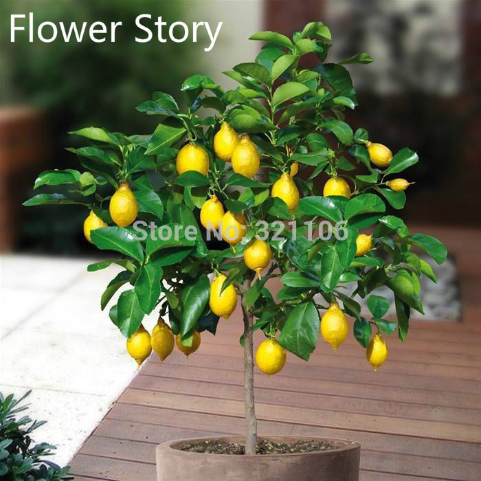 20 Dwarf Lemon Tree Seeds Natural Perfume Indoor DIY Home Garden Bonsai fragrant
