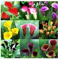 100 pcs/bag ,Calla seeds,Zantedeschia aethiopica,potted plants, planting seasons, flowering plants