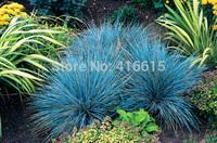 BLUE FESCUE Fesnea Glauca Ornamental Grass Seeds DIY home garden Free Shipping