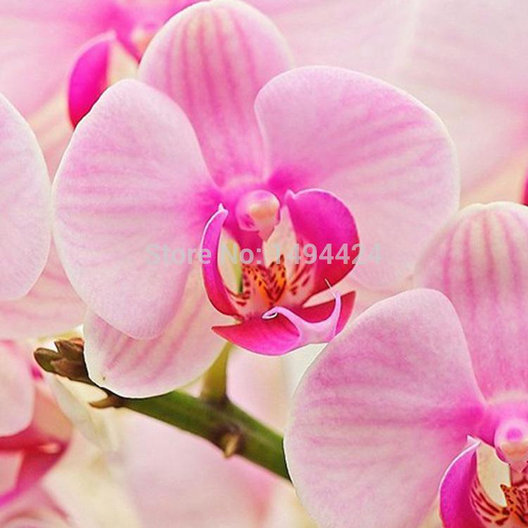 Unique Excellent Mix-Color Phalaenopsis Bonsai Beautiful Adorable Butterfly Orchid Flower Seeds Elegant Flower Plant Garden DIY(China (Mainland))