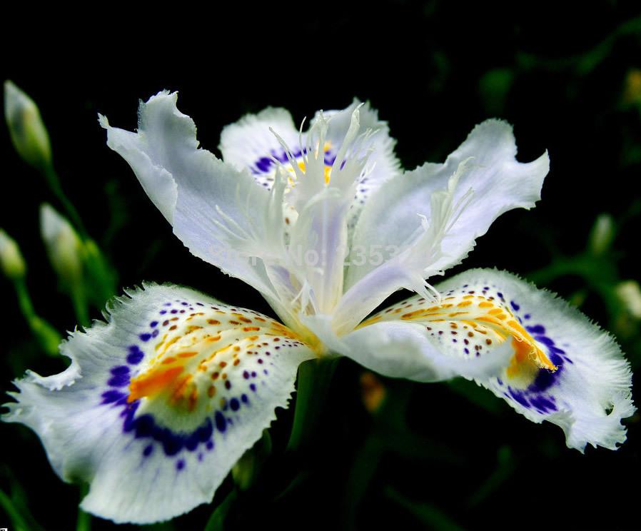 Продаем семена цветов Ирис японский japonica