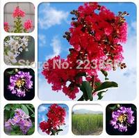 2014 New Hot Sale Very Easy Sementes De Flores 100 pcs/bag Lagerstroemia Crape Myrtle Bonsai Seeds,heirloom Seeds * Dwarf Shrubs