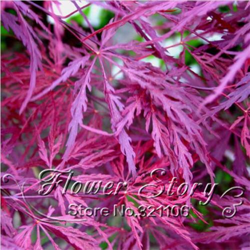 Crimson Queen Japanese Maple Bonsai Crimson Queen Japanese Maple