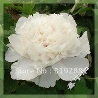 "10pcs/bag white Peony ""BaiHeWoXue"" flower Seeds DIY Home Garden"