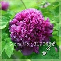 "10pcs/bag purple Peony  ""WeiZi"" flower Seeds DIY Home Garden"