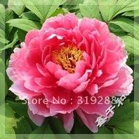 "10pcs/bag pink Peony  ""XinQiFuShen"" flower Seeds DIY Home Garden"