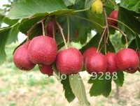 5pcs/bag Hawthorn tree Seeds DIY Home Garden