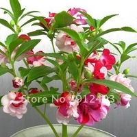 Free Shipping Pink Garden Balsam Seeds 20 pieces