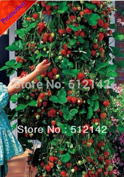 200 Pieces Climbing Strawberry seeds. DIY Home and Garden.