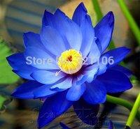 20 Blue Moon Lotus Flower Seeds ,Amazing Lotus Aquatic Plants, Label: Lotus 6,Free Shipping