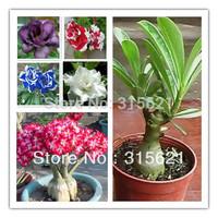 Colors  Bonsai Adenium obesum  Desert Rose Flower Mix Seeds 25pcs Free Shipping