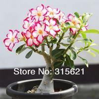 Desert Rose Seeds  Adenium obesum Flower Seeds 20PCS Free Shipping