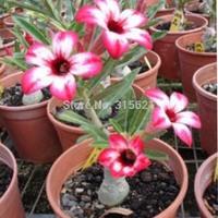 New Multi-color Adenium obesum Desert Rose Flower Seeds Table Bonsai Flower Clean Air Plants 30 PCS Free Shipping