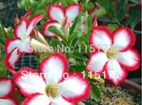 20 pcs Multi-Color Desert Rose Adenium obesum Seeds Bonsai Flower For Home Gardening  Free Shpping