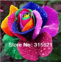 500 PCS NEW  MULTI-COLOR RAINBOW RAINBOW ROSE SEEDS FREE SHIPPING