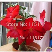 20PCS Bonsai Big Red Flower Monopetalous Adenium Obesum Seeds (Desert Rose) World Popular Free Shpping
