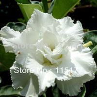 Bonsai White Flower Double Adenium Obesum Seeds 20pcs Free Shpping