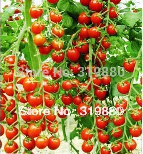 Free shipping 25 pcs/bag red pear tomatoes vegetable seeds for DIY home garden