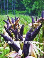 40PCS SEEDS WITH ORIGINAL PACKING PURPLE FRAGRANT GLUTINOUS CORN SEEDS WITH GREAT QUALITY * ''PURE PURPLE'' MAIZE SEEDS
