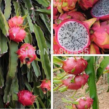 Free Shipping 100 pcs / Pack  *** dragon fruit seeds ***high quality fruit seeds Pitaya Seeds