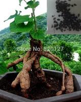 30 Seeds Polygonum multiflorum Seeds,Ho Shou Wu seeds,fleeceflower vine Chinese herbal medicine seeds