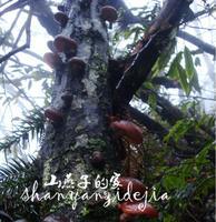 2013Dried fruit 100%Natural Promised!!Fresh Dried Mushroom Wild Mushroom  Basswood Wild Shiitake Small Peasant Black Mushroom