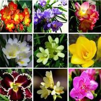 Flowering plants, bulbs species freesia, freesia, multicolor optional, 10 pcs
