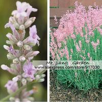 Lavandula Angustifolia Rosea Seed * 1 Pack  ( 10 Seeds ) * Lavender Rosea * Scented Flowers * Rare Species * Free Shipping