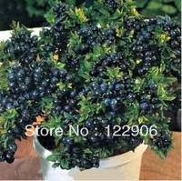 SE013 BLUEBERRY BONSAI TREE * 80 SEEDS * INDOOR OUTDOOR AVAILABLE * HEIRLOOM FRUIT SEEDS