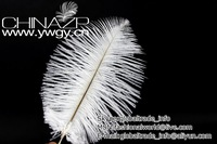 "Factory Wholesale 10pcs/lot Length 6""-8""(15-20cm) Top Quality White Ostrich feathers for Decoration"