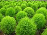 100pcs/lot Kochia seed flower seed POT FLOWER PLANT GARDEN BONSAI FLOWER SEED DIY HOME PLANT
