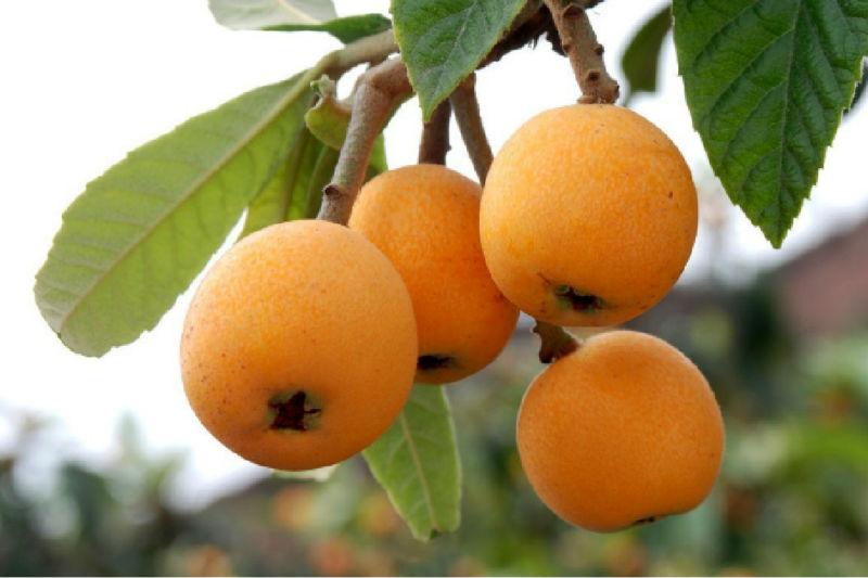 3 мушмула семена японской japonica фруктовые
