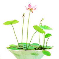100pcs 2015 new free shipping bosai Nelumbo nucifera seeds - spatterdock seeds hydroponic seeds multicolor