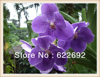 200 Pcs * Purple Butterfly Orchid Flower Seeds Phalaenopsis Bonsai Flower Plant Seeds