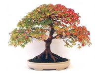 8 BONSAI CANADIAN MAPLE TREE SEEDS MINI PLANTS NEW LIVE FRESH SEEDS DIY HOME GARDEN SHIPS FREE