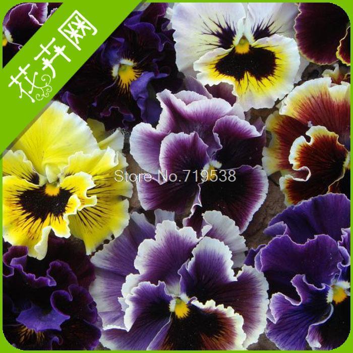Wave pansy seeds flower seeds 30 webcasts seeds(China (Mainland))
