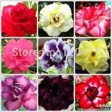 100% verdadeiro deserto do arco-íris rose sementes vasos de flores plantadores Adenium sementes obesum mista transferência - 5 pcs(China (Mainland))