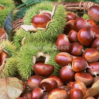 Fresh chestnut born of a chestnut taste sweet oil chestnut green 1000g