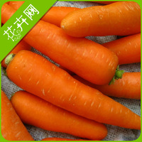 1 Pack 30 Carrot Seeds