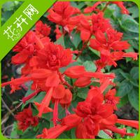 Free Shipping 1 Packs 30 Seeds Beautiful Scarlet Sage Flower Seeds