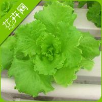 1 Packs 100 Seeds Lettuce Vegetable Seeds