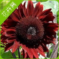 1 Packs 15 Seeds Sunflower Flower Seed